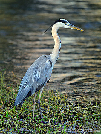 Free Grey Heron Royalty Free Stock Photography - 15451527