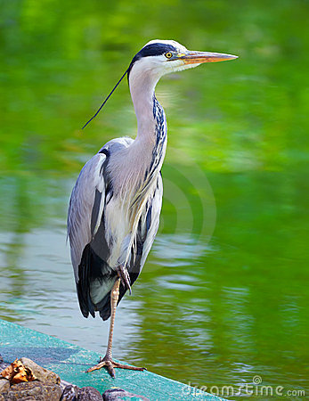 Free Grey Heron Royalty Free Stock Photo - 23660725