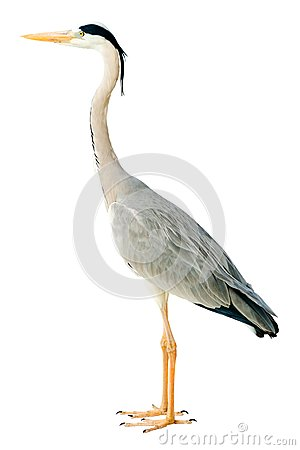 Free Grey Heron Stock Photography - 33368582