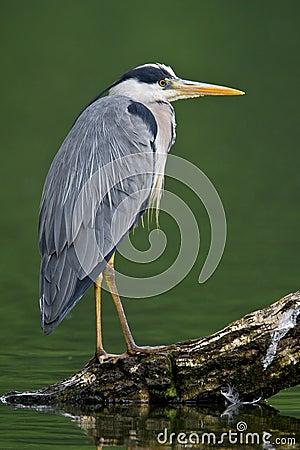 Free Grey Heron Stock Image - 5309541