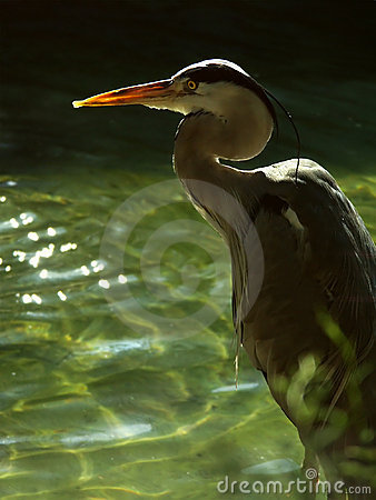 Free Grey Heron Royalty Free Stock Image - 670276