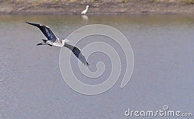 Grey Heron,Ardea cinerea,Flight,gliding over water