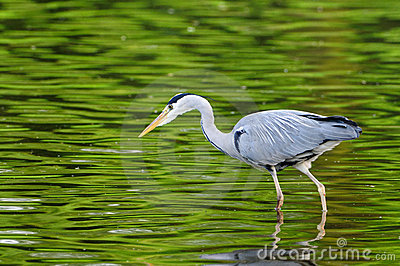 Grey Heron (ardea cinerea) hunting