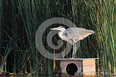 Grey Heron Ardea cinerea hunting a fish