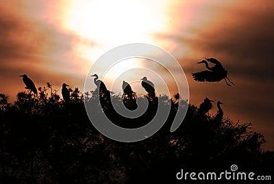 Grey Heron Ardea cinerea silhouttes