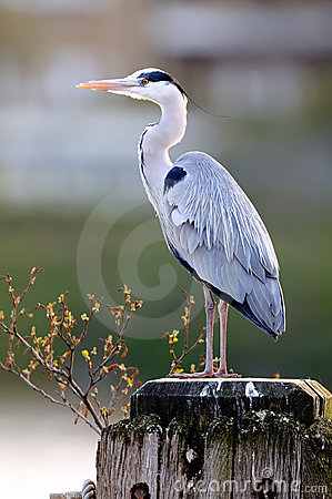 Grey Heron (ardea cinerea) standing by the Thames