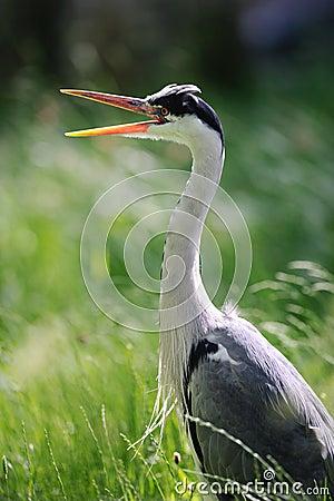 Grey Heron (ardea cinerea) yawning