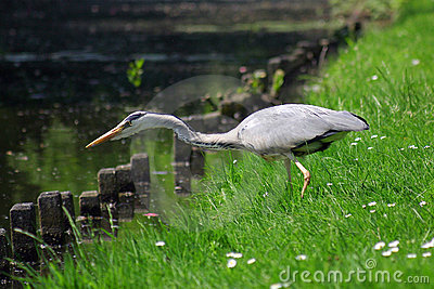 Grey heron bird catching a fish