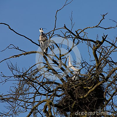Grey heron bird couple sitting on the nest