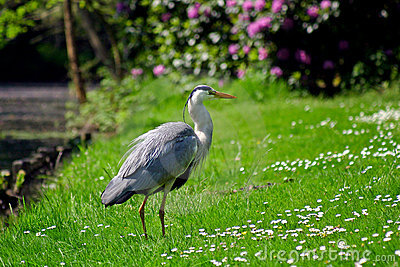 Grey heron bird standing on the grass