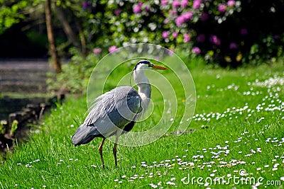 Grey heron bird standing on the grass
