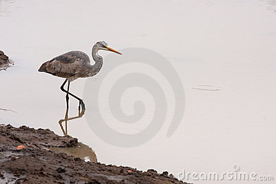 Grey heron bird water