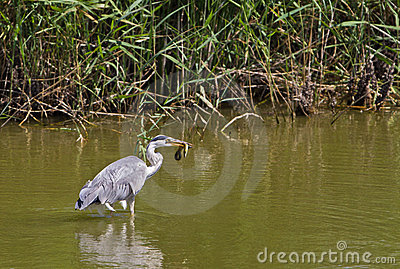 A Grey Heron catches an Eel