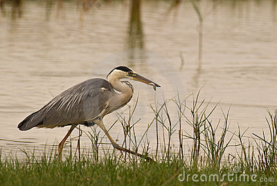 Grey Heron with caught fish