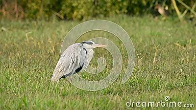 Grey heron eller Ardea cinerea in green grass at keoladeo national park eller bharatpur bird fricape lager videofilmer