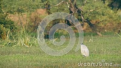 Grey heron eller Ardea cinerea in green grass at keoladeo national park eller bharatpur bird fricape arkivfilmer
