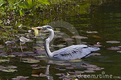 Grey heron feeding