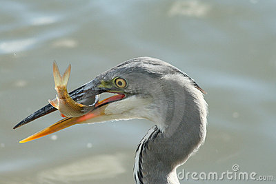 Grey heron with a fish
