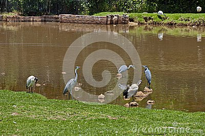 Grey Heron and hornbill in pond