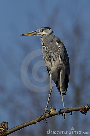 Grey Heron on a Limb