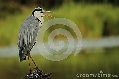 Grey Heron perched on log