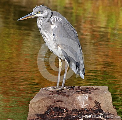 Grey Heron perched on a Rock