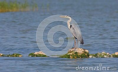 Grey heron resting