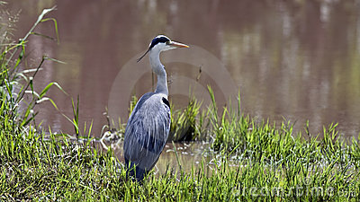 Grey heron on the river bank