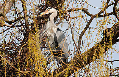 Grey heron standing guard over his nest