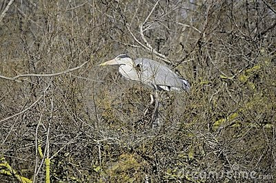 Grey Heron in the swamp