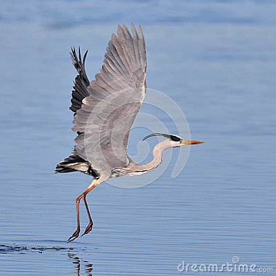 Grey Heron taking off over water