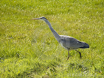 Grey heron waiting for prey