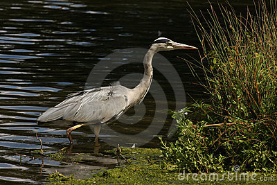 A grey heron in water