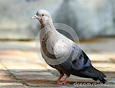 Grey himalyan pigeon