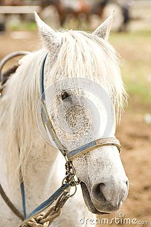 Free Grey Horse Royalty Free Stock Photos - 25339078