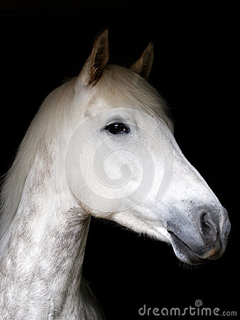 Grey Horse Against Black Background