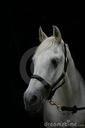 Grey horse, black background