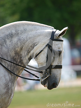 Grey Horse In Bridle