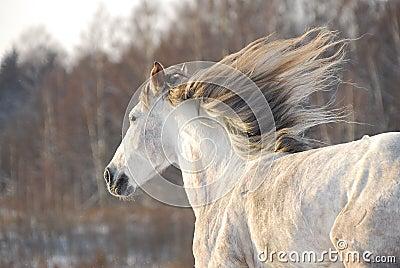 Grey horse gallops