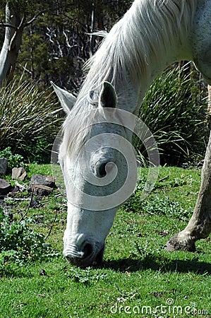 A grey horse grazing