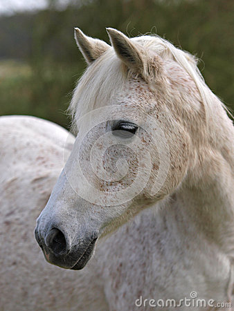 Grey Horse Headshot