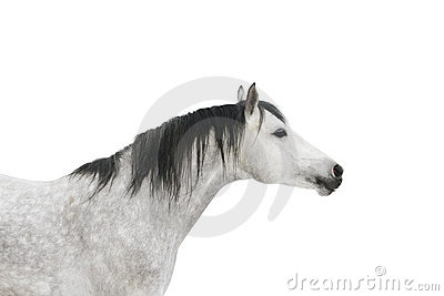 Grey horse isolated