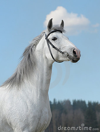 Grey horse, portrait