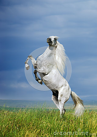 A grey horse rearing