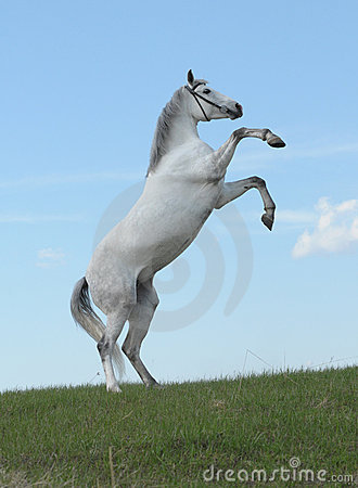 Grey horse rears in the meadow