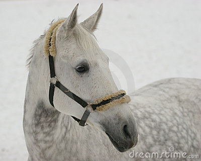 Grey horse on snow