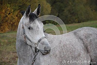 Grey horse in a three-fourth
