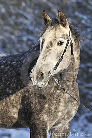Grey horse in winter