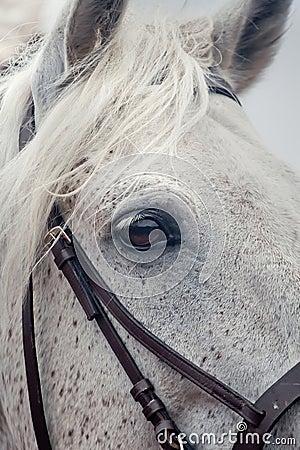 Grey horses eye