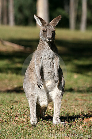 Free Grey Kangaroo, Australia Stock Photo - 5900770
